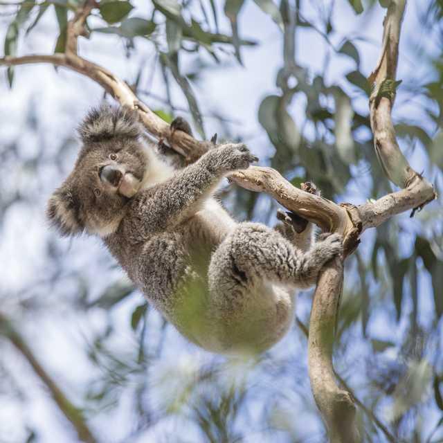 Koala en el árbol de eucaliptos - Viaje por el sur de Australia