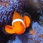Pez payaso en la Gran Barrera de Coral