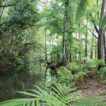 Bosque tropical de Daintree
