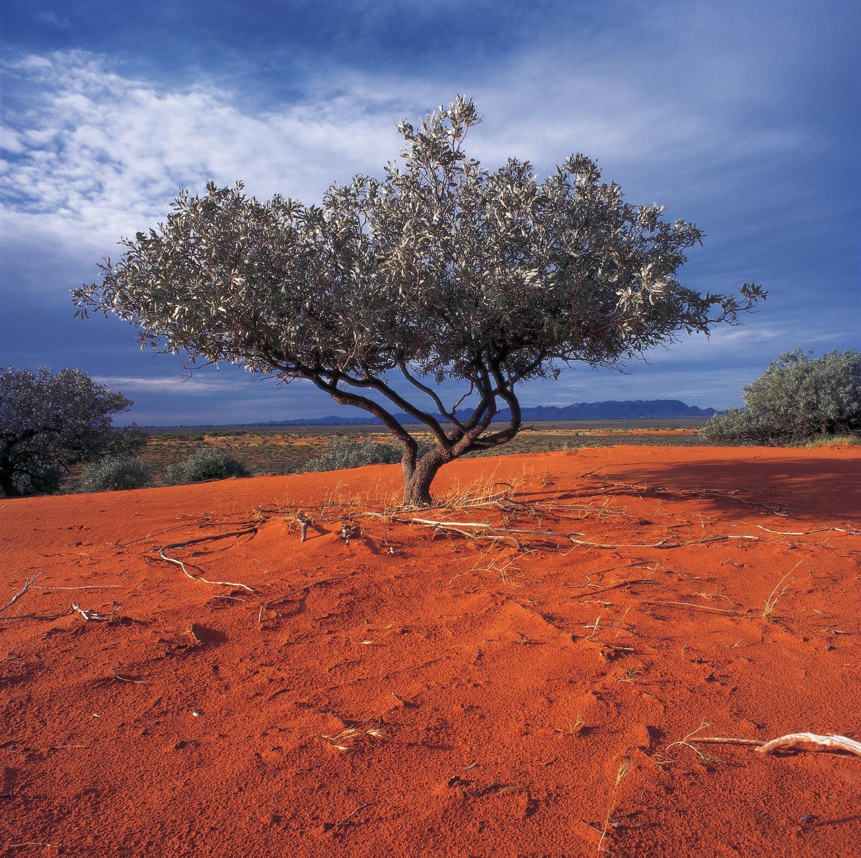 Árbol en el desierto rojo - Viaje a Australia del Sur