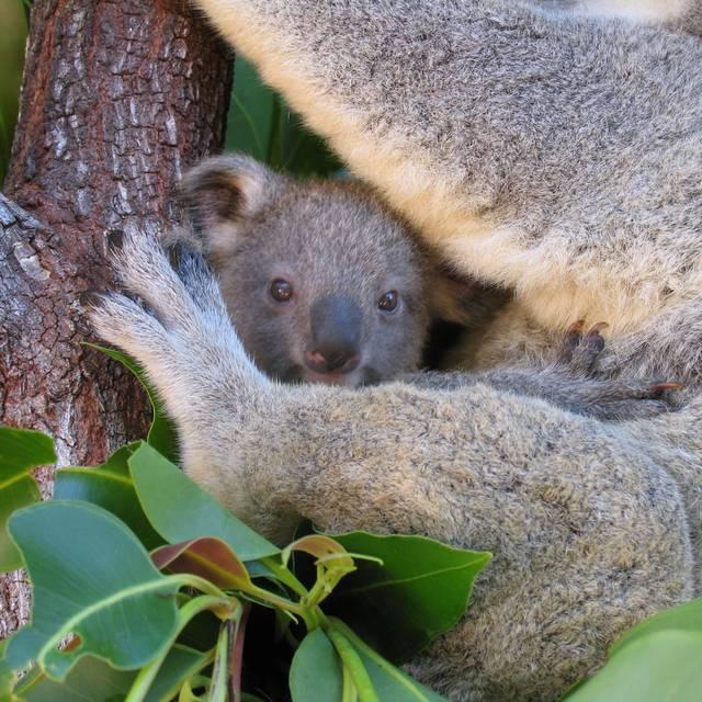 Bebe Koala - Viaje en Familia Australia