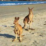 Canguros en la playa - Viaje Colores de Australia